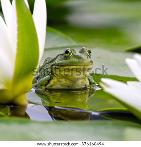 Marsh frog sits on a green leaf among white lilies in the pond #376160494