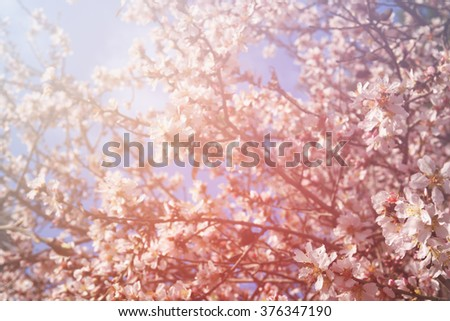 dreamy and blurred image of spring white cherry blossoms tree. selective focus. vintage filtered #376347190