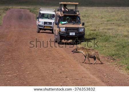 A spottet hyena crossing the road, while tourists are taking its picture