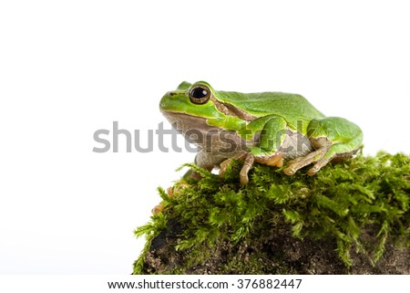 European green tree frog sitting on piece of moos isolated in front of white background #376882447