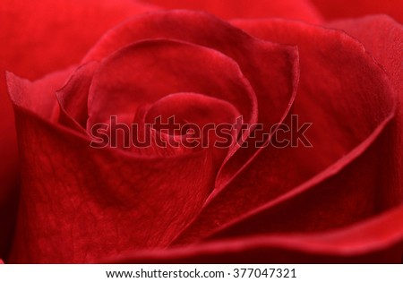 Vibrant fresh red rose close up. Rose head macro photo background.  #377047321