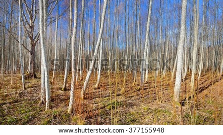 Aspen forest in the early spring in Estonia #377155948