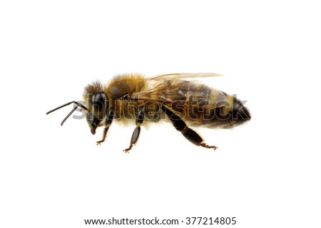 Bee isolated on the white #377214805