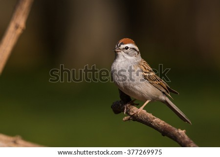 A Chipping Sparrow on a branch in northern Lexington, Kentucky. #377269975
