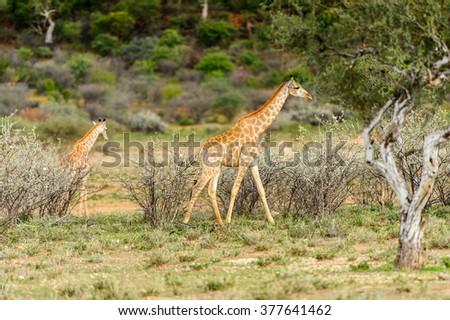 Giraffe in the Erindi Private Game Reserve, Namibia #377641462