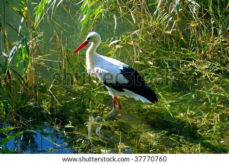 white stork #37770760