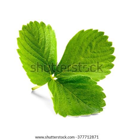 fresh strawberry leaf on white #377712871