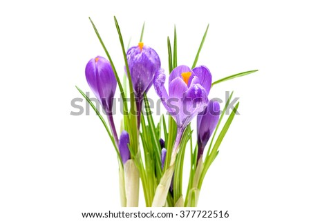 Spring crocus flowers  isolated on white background. Selective focus #377722516