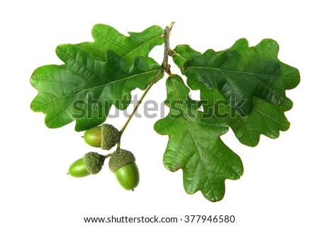 oak leaves - isolated Royalty-Free Stock Photo #377946580