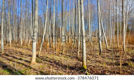 Aspen forest in the early spring in Estonia #378476071