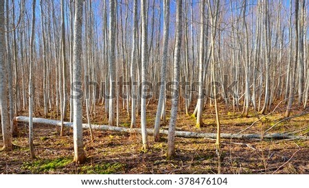 Aspen forest in the early spring in Estonia #378476104