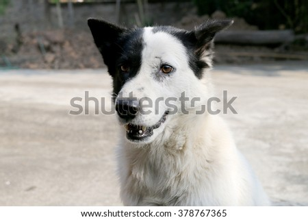 Thai Dog With Black and White Colors #378767365