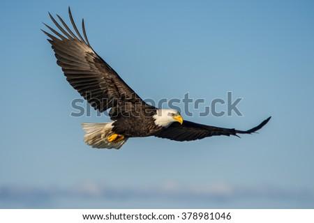 american bald eagle soaring against clear blue alaskan sky #378981046