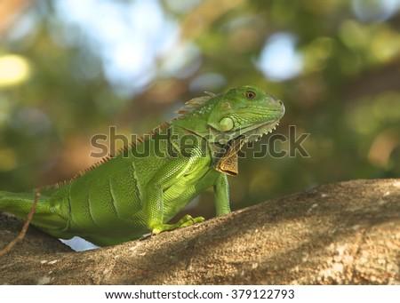 Green Iguana Royalty-Free Stock Photo #379122793