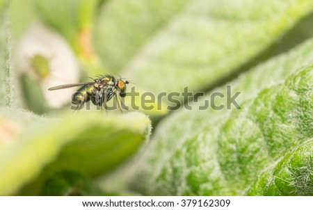 Macro of a Dolichopodidae fly, insect #379162309