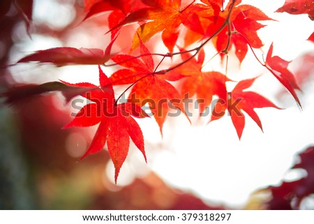 Selective Focus of Maple Leaf Background #379318297