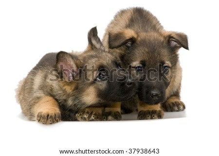 German shepherds puppys #37938643
