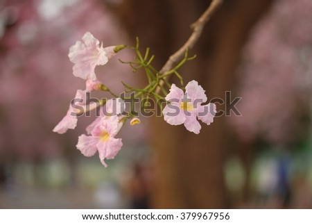 Pink trumpet tree flower blooming in valentine's day like sweet dream (Tabebuia rosea, Family Bignoniaceae, common name Pink trumpet tree, Rosy trumpet tree, Pink Poui, Pink Tecoma) #379967956