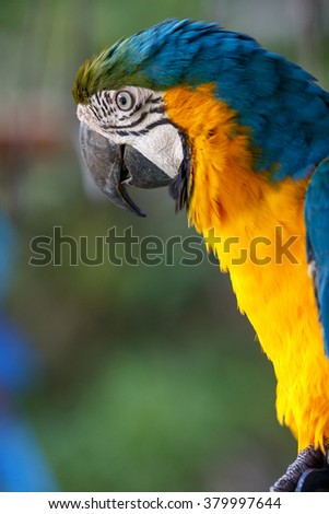 Blue-and-yellow Macaw  #379997644