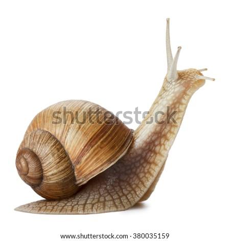 Garden snail isolated on white. Royalty-Free Stock Photo #380035159