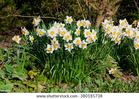 spring flowers.  Yellow Narcissus flowers in the garden #380185738
