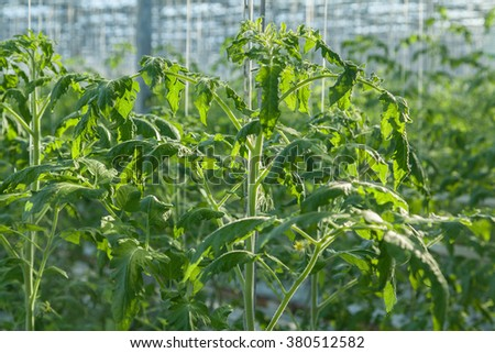 Blured  plant of tomato inside big industrial greenhouse #380512582