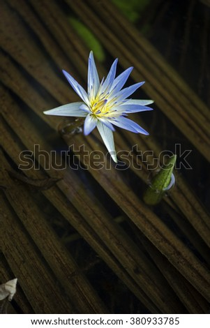 SAO PAULO, SP, BRAZIL - DECEMBER 5, 2015 - Blue lotus or blue waterlily,  Nymphaea caerulea, plant of the Nymphaeaceae family originating in South Africa #380933785