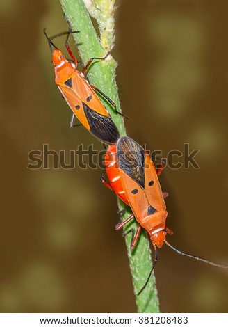 """Catacanthus incarnatus — Man-faced Stink Bug. Catacanthus (""""having downward-pointing thorns""""[1]) is a genus of insects within the Pentatomidae family. This insect was pictured during mating."""