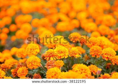 Geranium orange flowers in a park #38122195