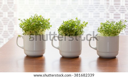 Fresh watercress or cress growing in small cups at home. #381682339