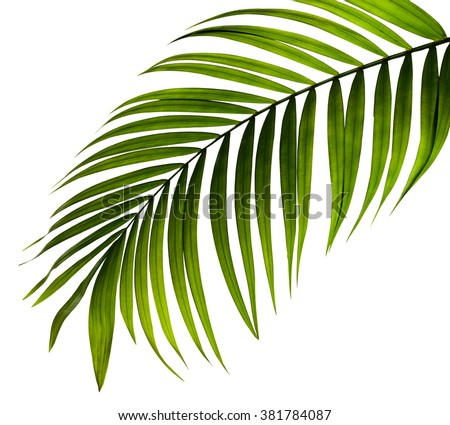 green leaf of palm tree on white background Royalty-Free Stock Photo #381784087