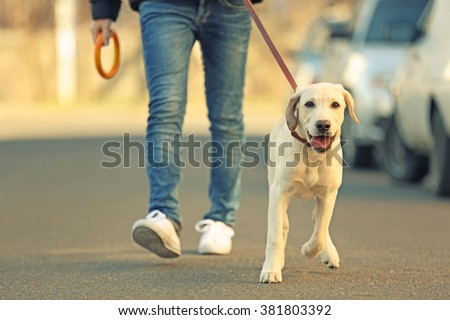 Owner and Labrador dog walking in city on unfocused background Royalty-Free Stock Photo #381803392