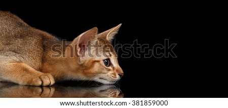 Hunting Abyssinian Kitten on mirror and Looking at Right isolated black background Royalty-Free Stock Photo #381859000