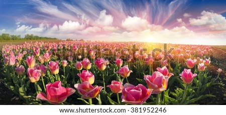 Field with tulips Ukrainian farmer with the famous Dutch and European varieties of tulips beautiful attracts tourists. Sale of bulbs on the landing - a good business for the entrepreneur #381952246