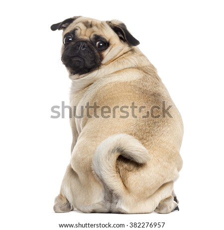 Rear view of a Pug sitting and looking at the camera, isolated on white (1 year old)