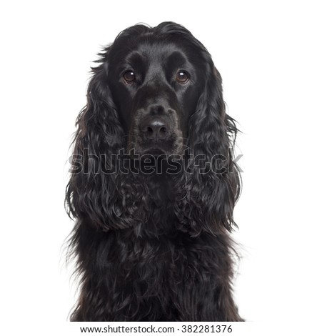 Close up of an English Cocker Spaniel looking at the camera, isolated on white (1 year old) #382281376