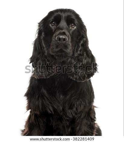 Close-up of a English Cocker spaniel in front of a white background #382281409