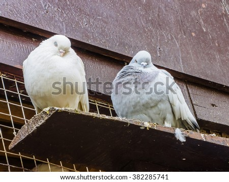 Pigeons on a perch #382285741