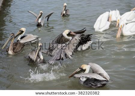Pelicans Feeding at Texas Marina #382320382