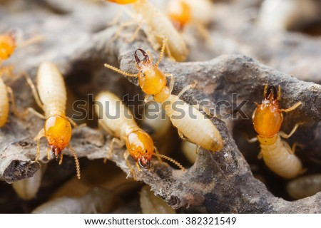 Close up termites or white ants destroyed