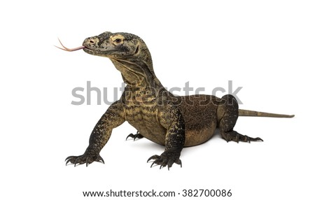 Komodo Dragon sticking the tongue out, isolated on white (4 years old) #382700086