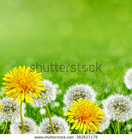 Summer landscape. Flowers. White and yellow flowers dandelions #382821178
