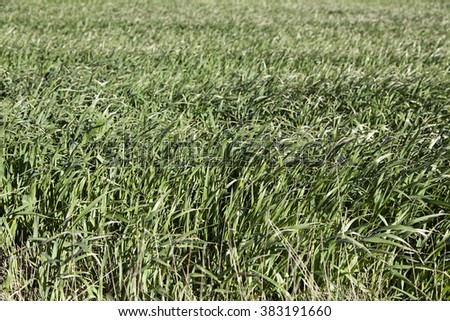 Background of fresh grass, detail of a field in nature #383191660