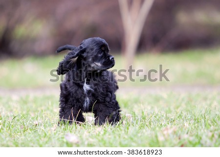american cocker spaniel puppy walking on grass #383618923