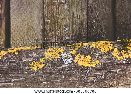 Blue and yellow lichen on woden wall #383708986