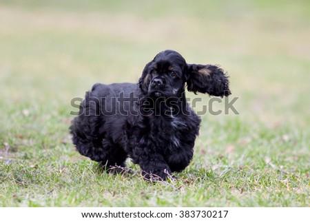 Siberian Husky puppy #383730217