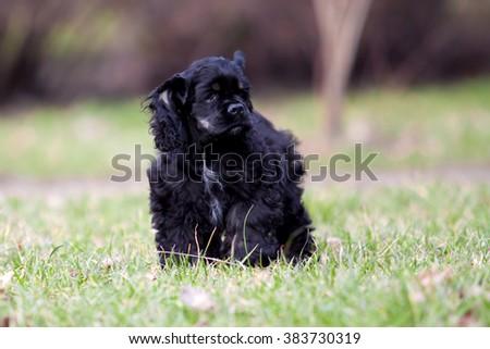 Siberian Husky puppy #383730319
