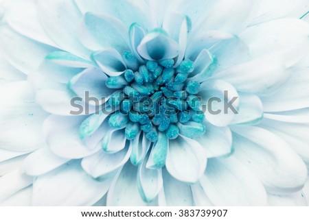 Turquoise annealed Chrysanthemum #383739907