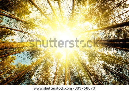 pine forest trees. nature green wood sunlight backgrounds Royalty-Free Stock Photo #383758873
