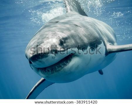 Great white shark smiling